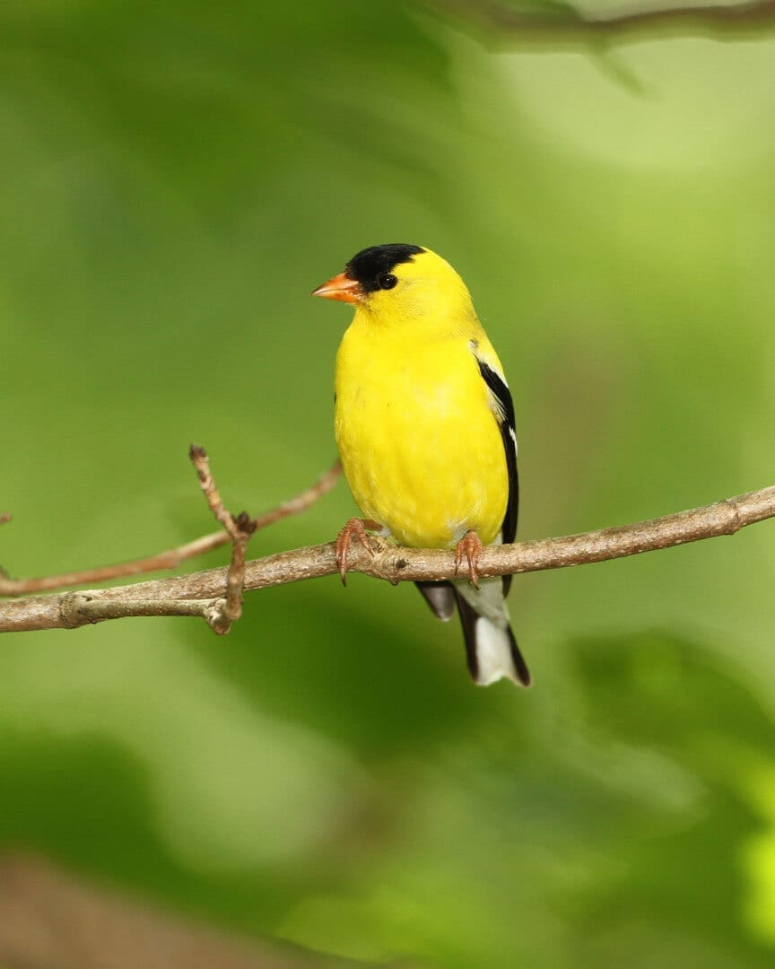 NJ Travel-Male American Goldfinch (Spinus tristis)