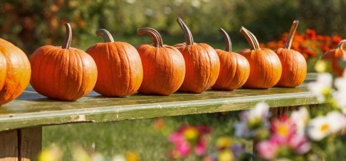 Fall in New Jersey-NJ Farms-Pumpkins in a Row