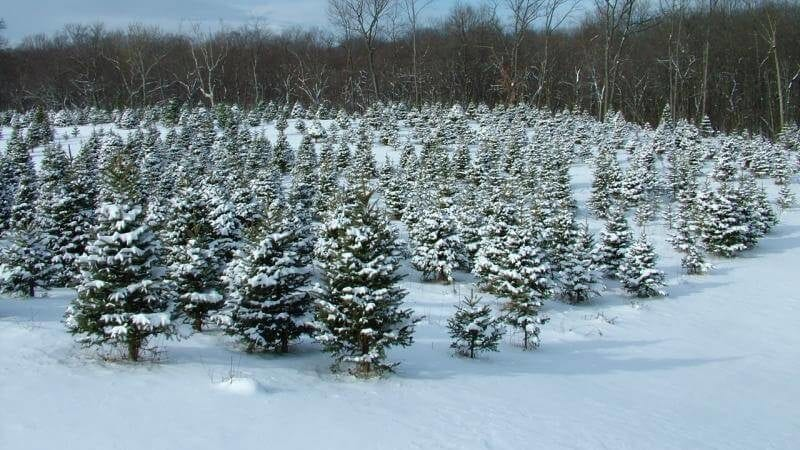 large field of snow-covered fir trees