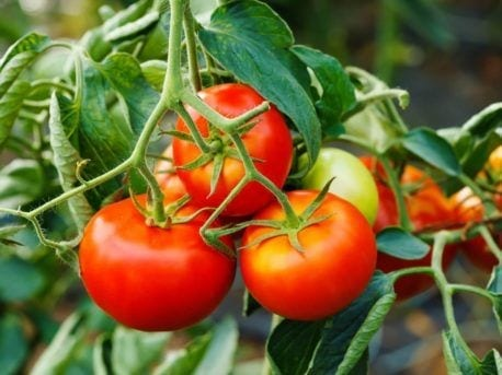 tomatoes on vine