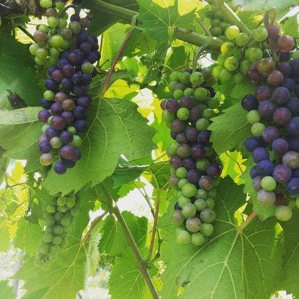 Photo of Grapes from Vineyard at Renault Winery American Restaurant in Egg Harbor