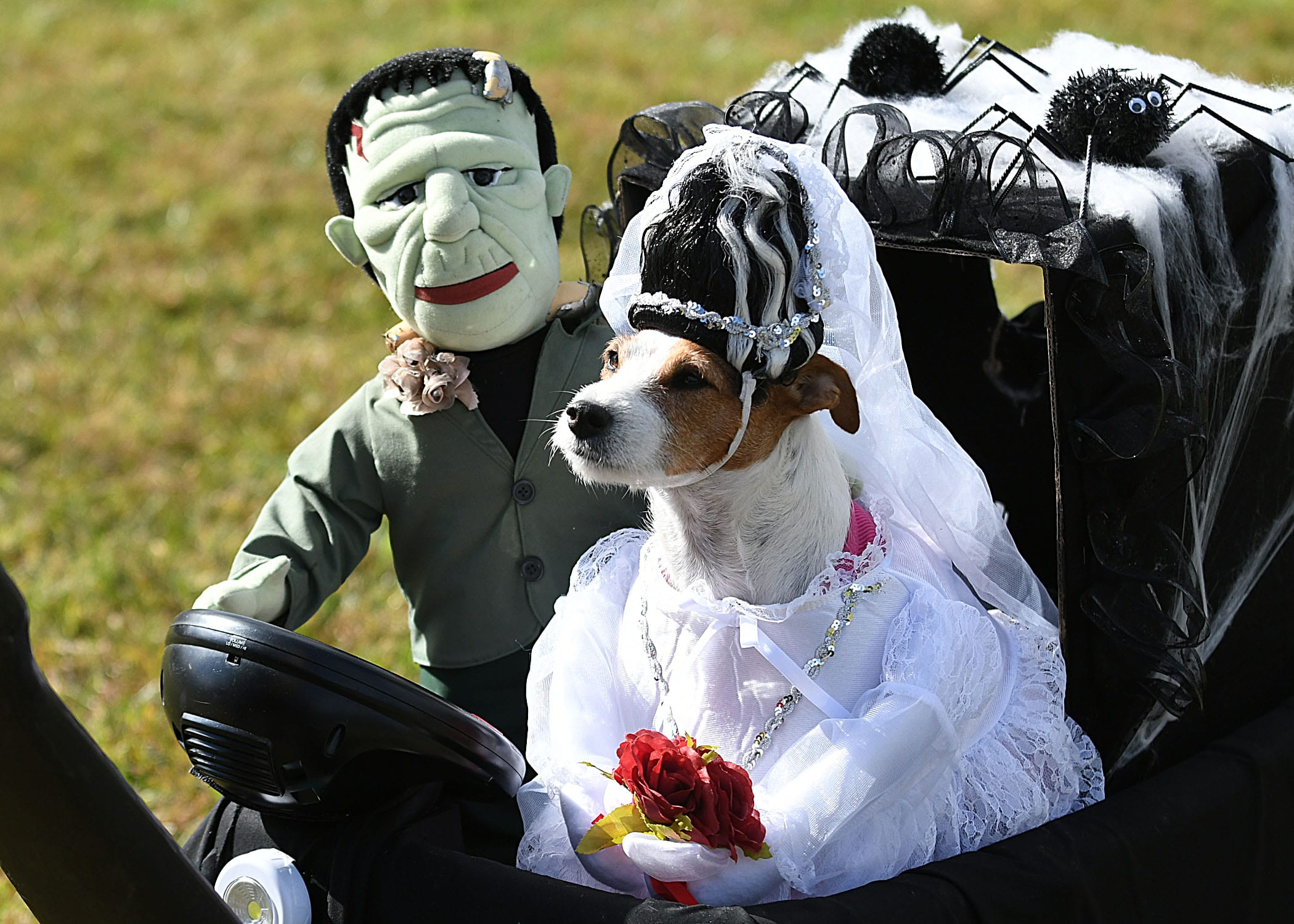 Dog in Bride of Frankenstein Halloween Costume for unconventional event